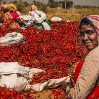Karnataka paprika ültetvény