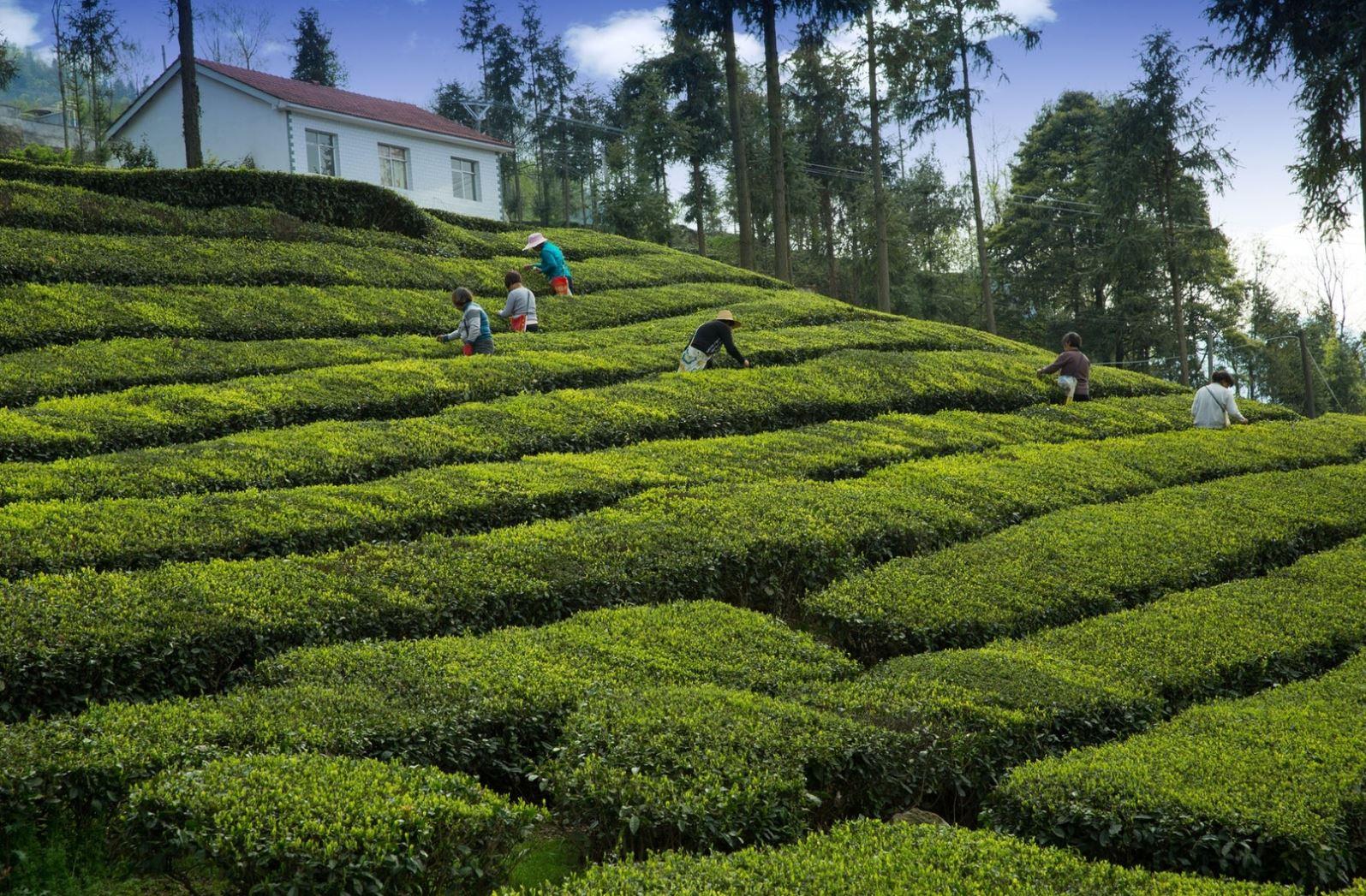 Darjeeling tea árak és ültetvények